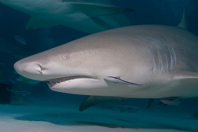 Juvenile Remora in Symbiosis with a Lemon Shark